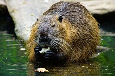 Beaver eating Fish