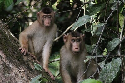 Monkeys in Borneo